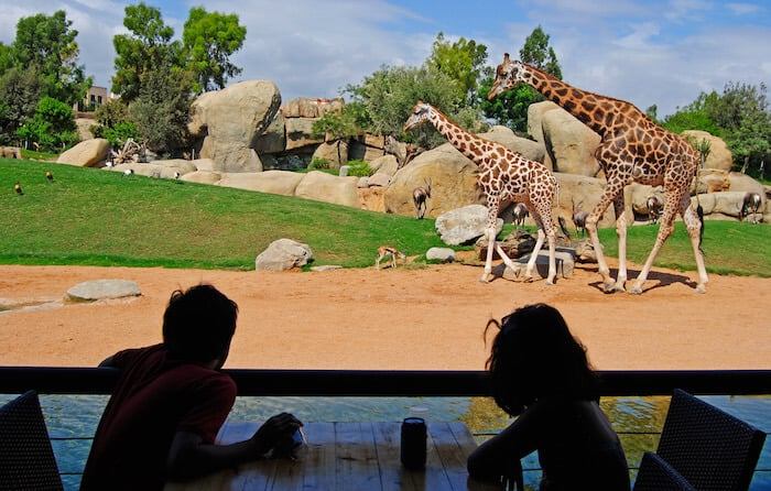 Vista das girafas desde o restaurante no Valencia Bioparc