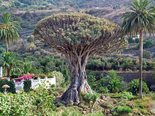 Drago del Icod de los Vinos em Tenerife